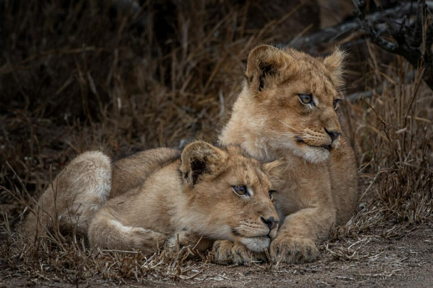 Ntsevu Lion Cubs Bond Dean De La Rey Dlr 09:21