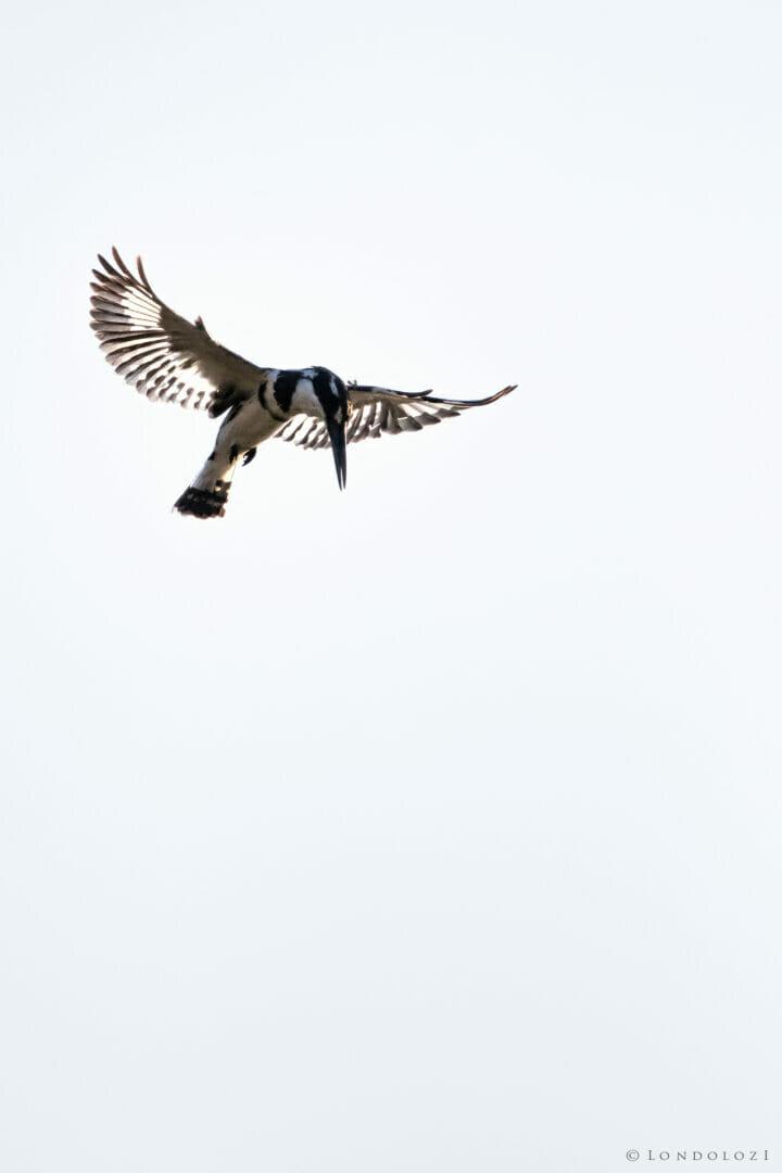 Pied Kingfisher Flight Dean De La Rey Dlr 09:21