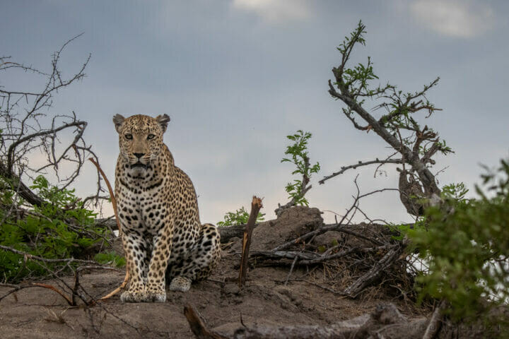 Senegal Bush Male Leopard Termite Mound View Dean De La Rey Dlr 09:21