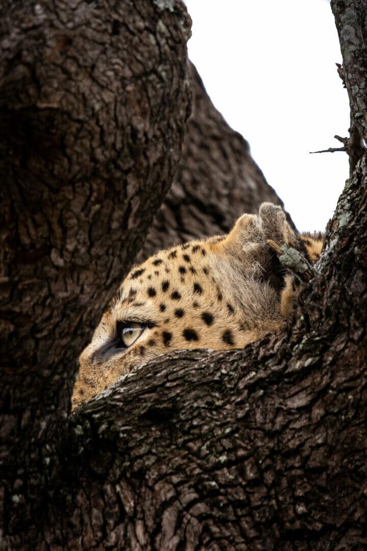 Senegal Bush Male Leopard Stare Dean De La Rey Dlr 09:21