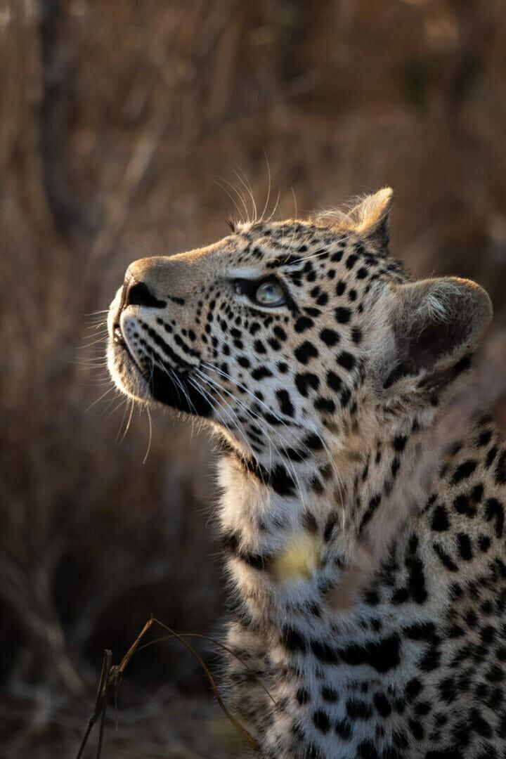 Ximungwe Cub Leopard Look Up Stare Dean De La Rey Dlr 09:21