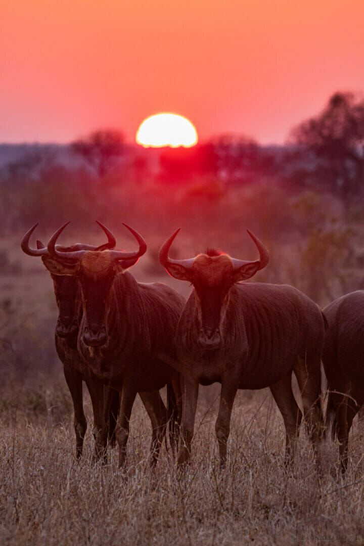 Wildebeest Sunrise Dean De La Rey Dlr 09:21