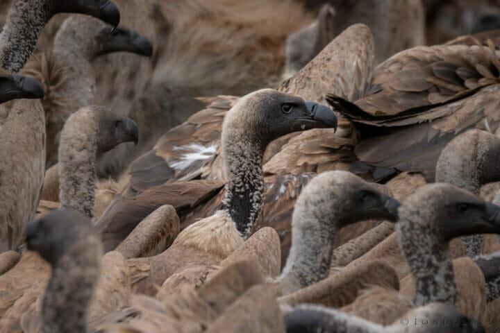 White Backed Vulture Dean De La Rey Dlr 09:21