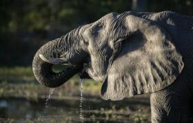 Sdz Elephant Drinking Side Profile