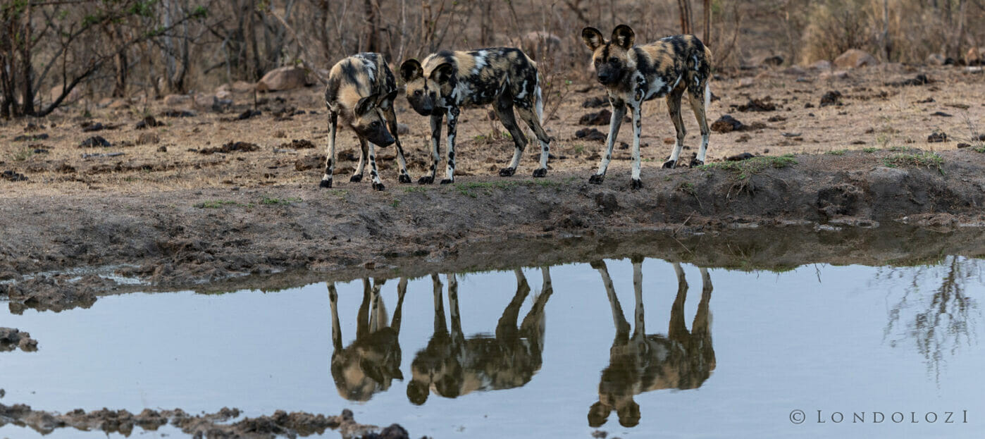 Wild Dogs Refection