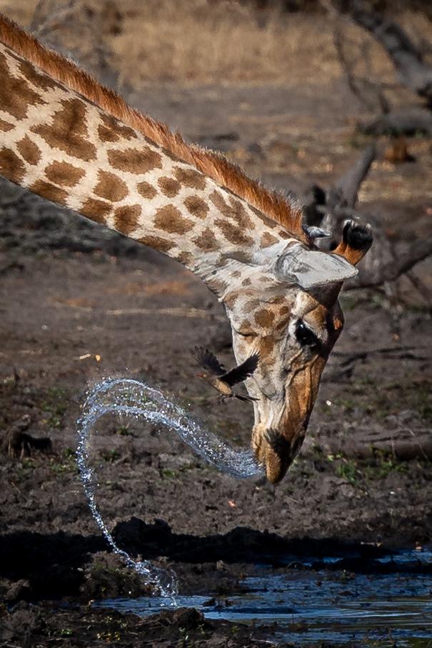 Giraffe drinking head flick and oxpecker (2)