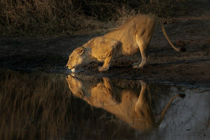 Ntsevu Lioness Drink Reflection Kng