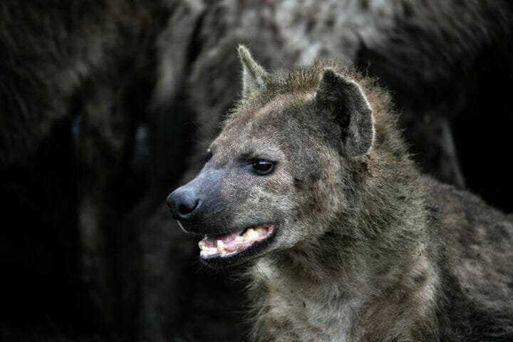 Sdz Hyena Young And Dirty