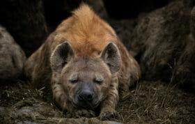 Sdz Hyena Sleeping Front On