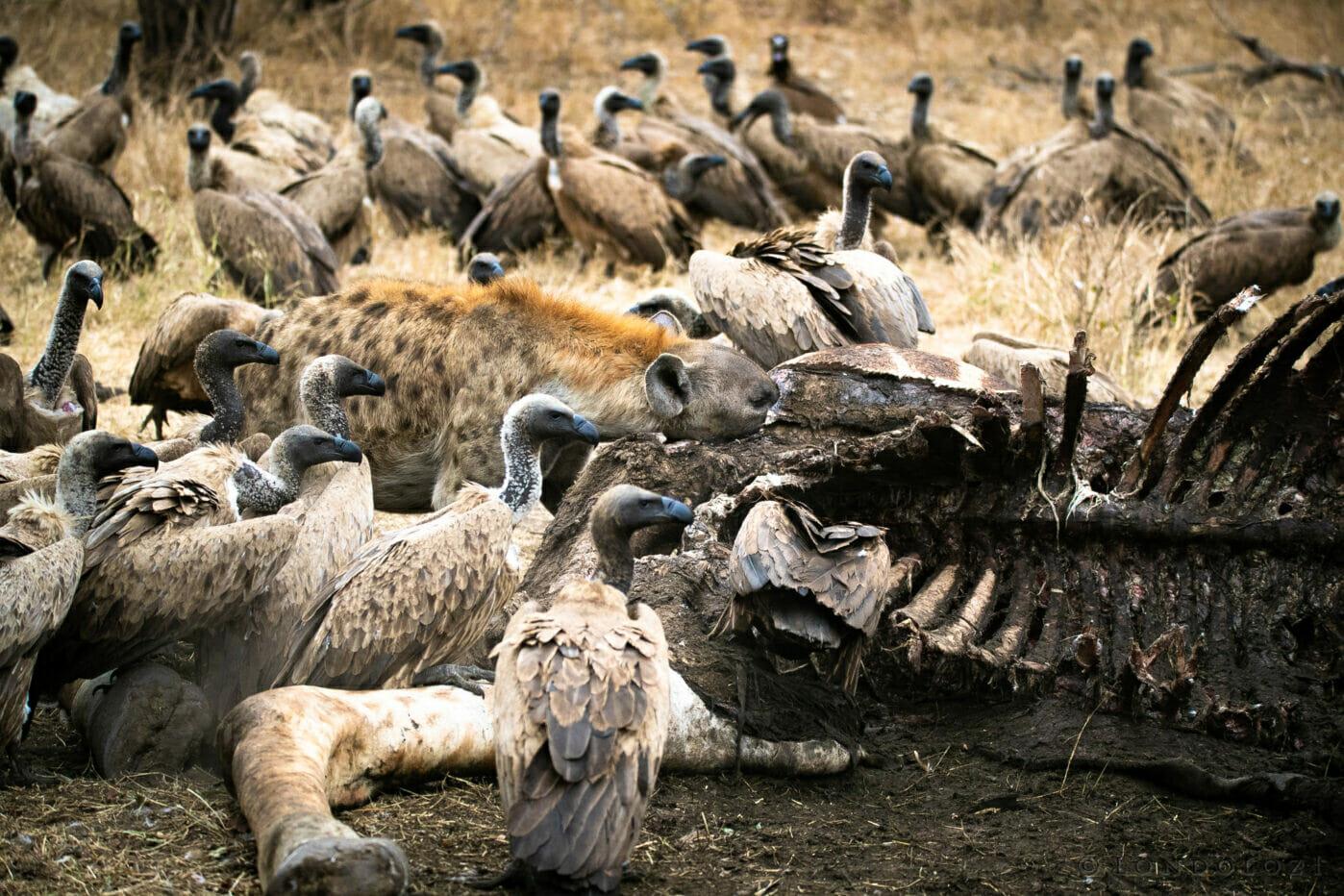 Sdz Vultures And Hyena On Giraffe Carcass