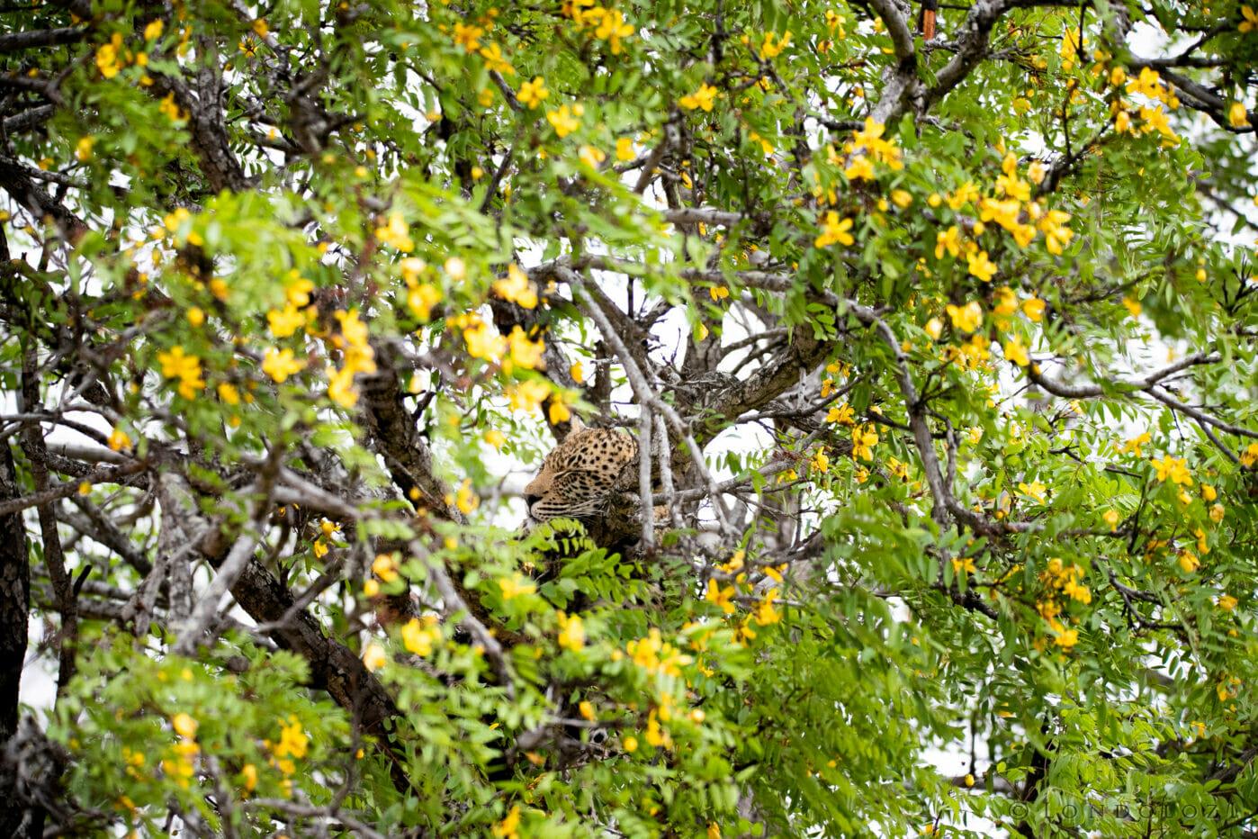Sdz Nkoveni Female Leopard's Cub In Wattle Flowers Wider