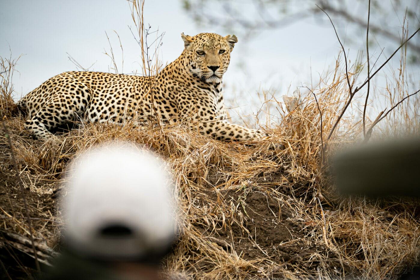 Sdz Senegal Bush Male Leopard Termite Mound Sersant Foreground