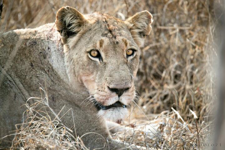 Sdz Ntsevu Lioness Intense Stare