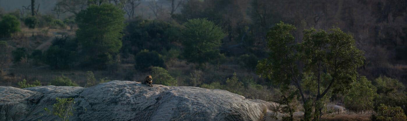 Sdz Avoca Male Lion Boulder Pano