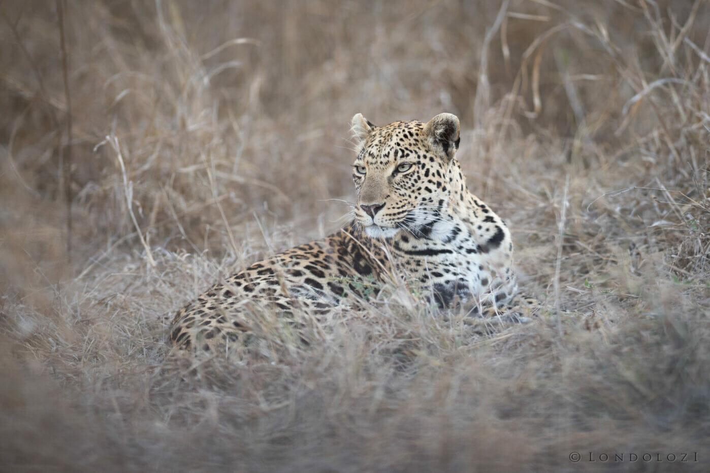 Sdz Ximungwe Female Leopard Dry Grass