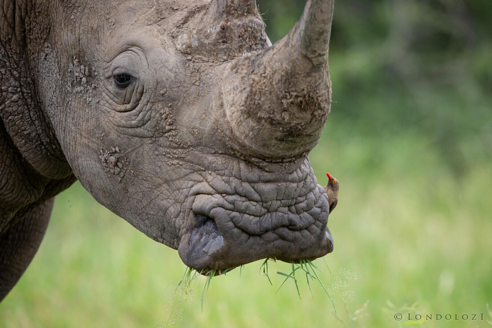 Rhino Lip Lfa611761