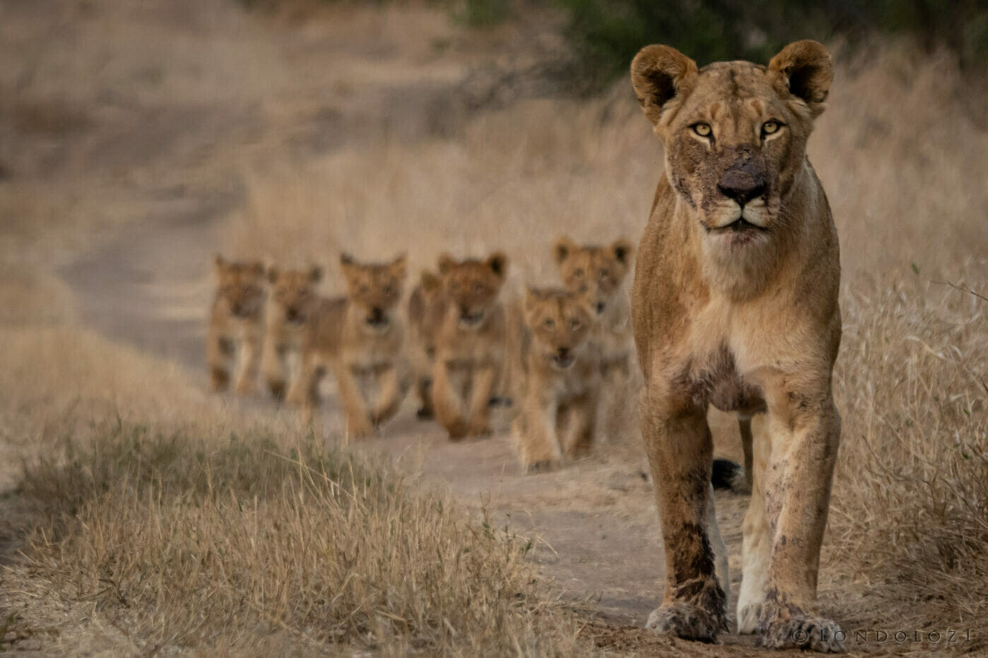 Ns Nkhuma Lioness with Cubs