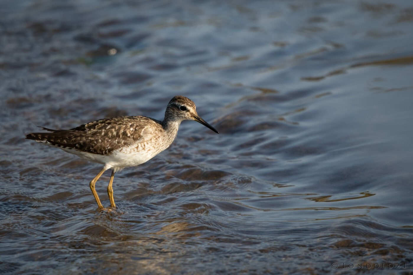 Ns Wood Sandpiper Wading in Water