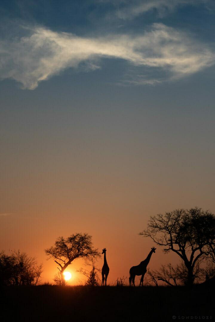 Ns Giraffe Sunrise Silhouette