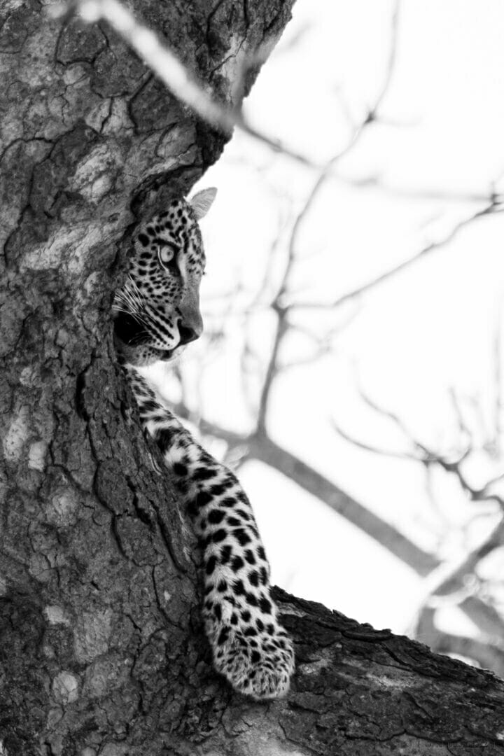 Ns Ximungwe Leopard Cub in Tree, Black and White
