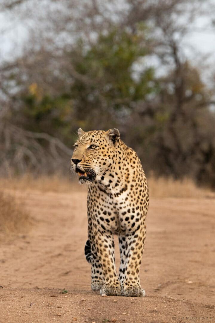 Ns Senegal Bush Male Leopard in Road