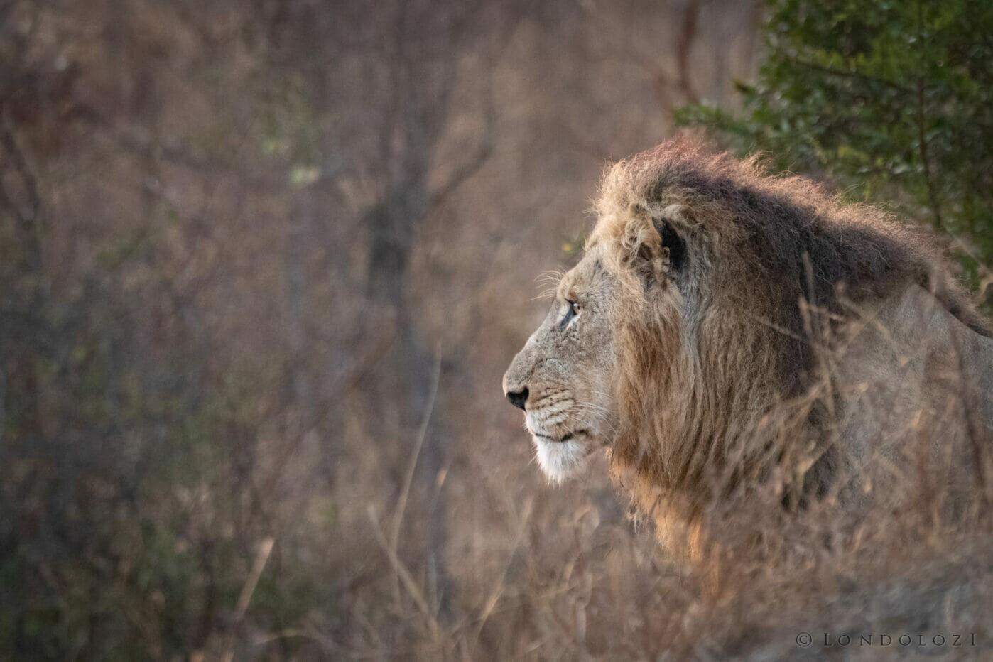 Ns Avoca Male Lion Side Profile