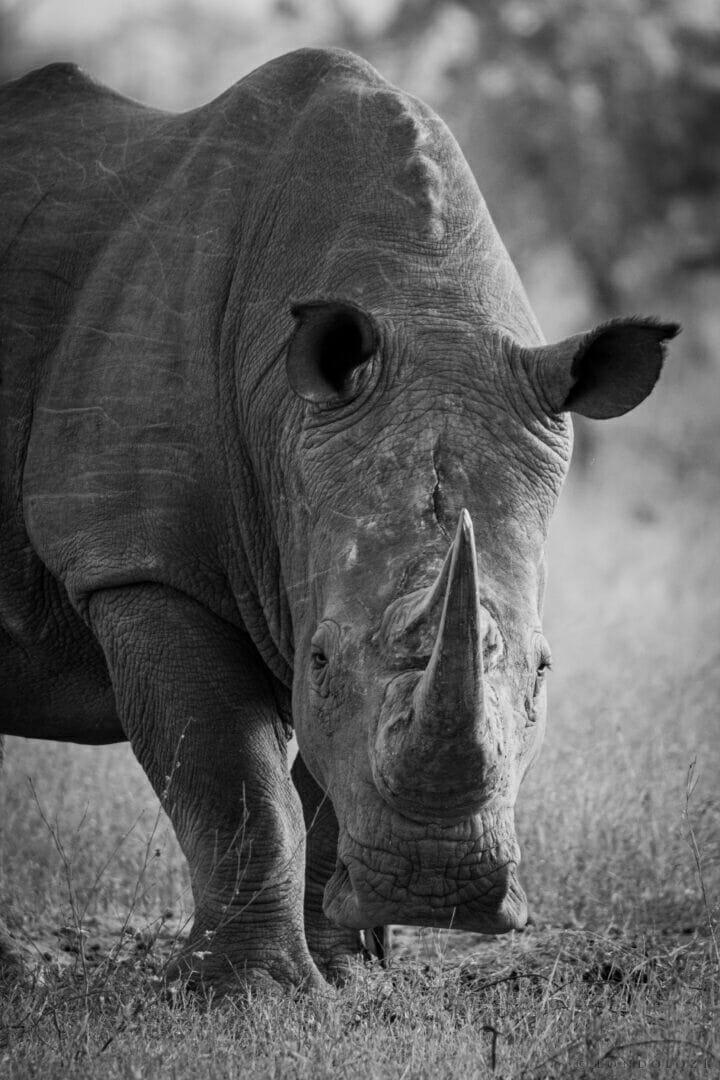 Ns Male White Rhino Portrait Black and White