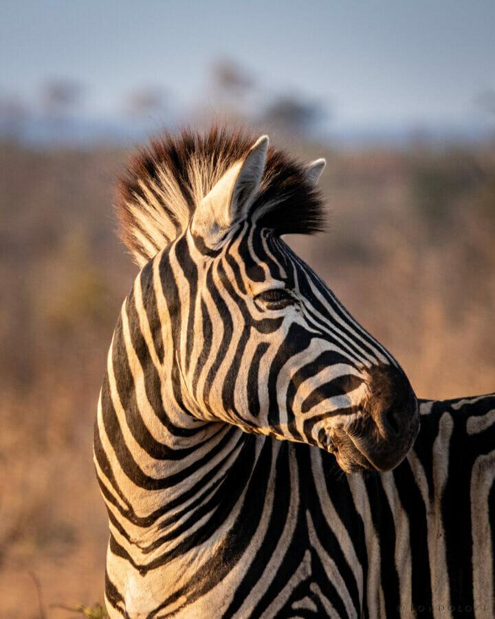 CT Zebra Portrait