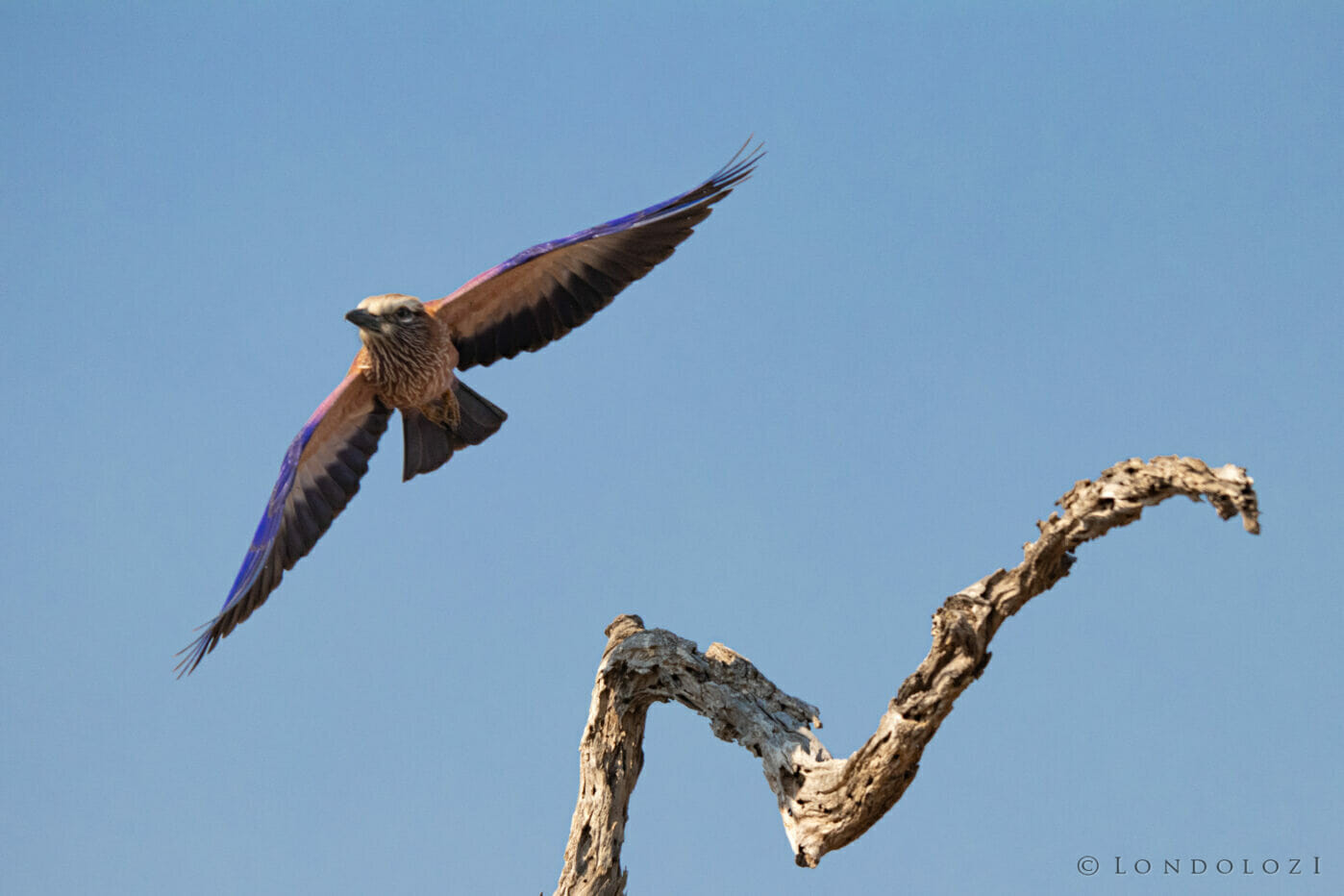 CT Purple Roller Bird Take Off