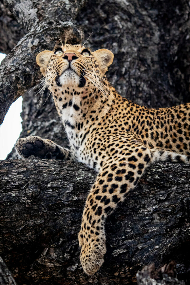 CT Nkuwa Female Leopard Portrait