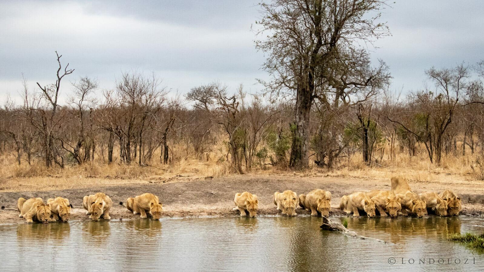 CT Ntsevu Lion Pride Drinking