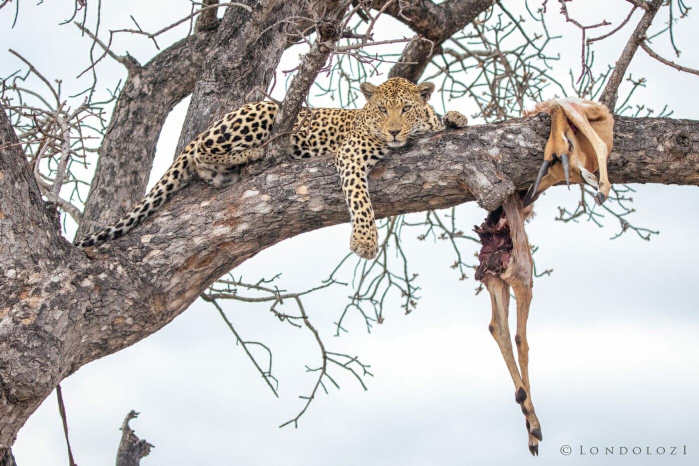 CT Mashaba Female Leopard Kill