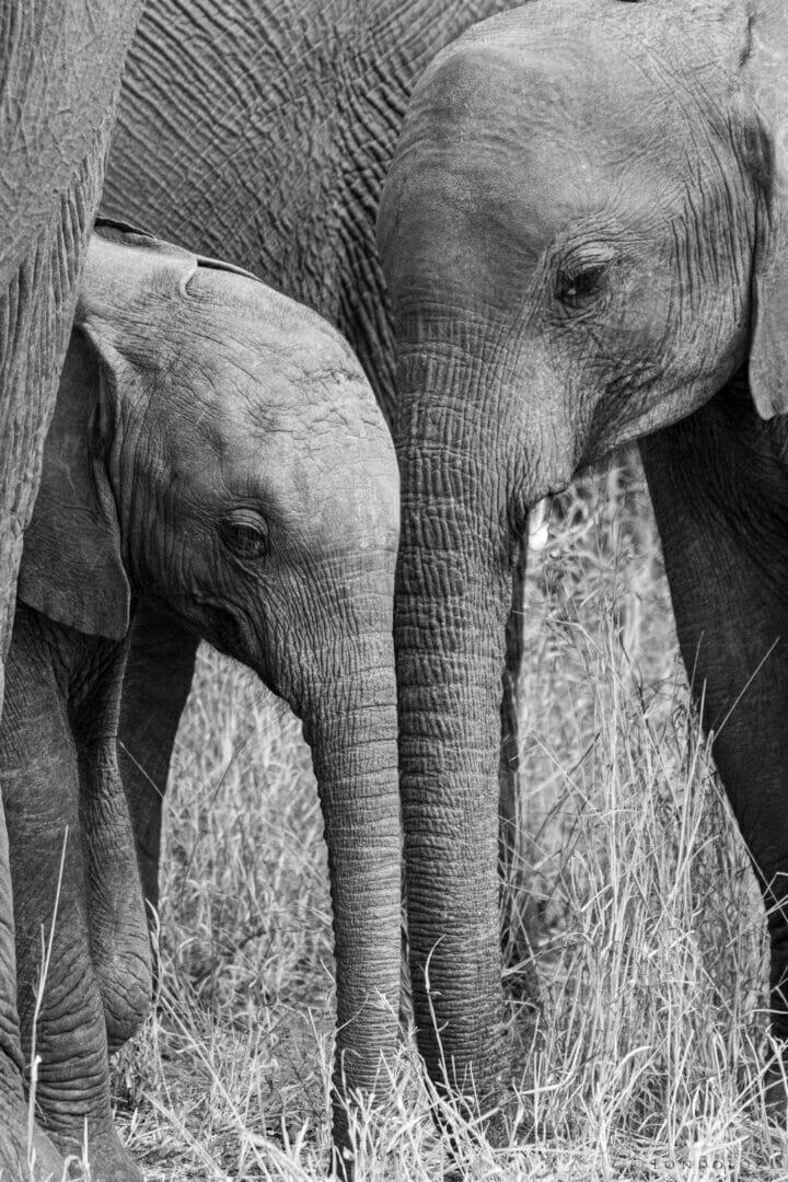 CT Elephant Calves