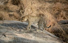 Sdz Xinzele Female leopard walking on boulders