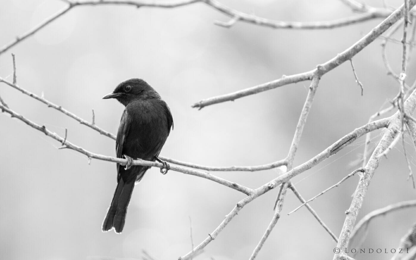 CT Southern Black Flycatcher Black and White