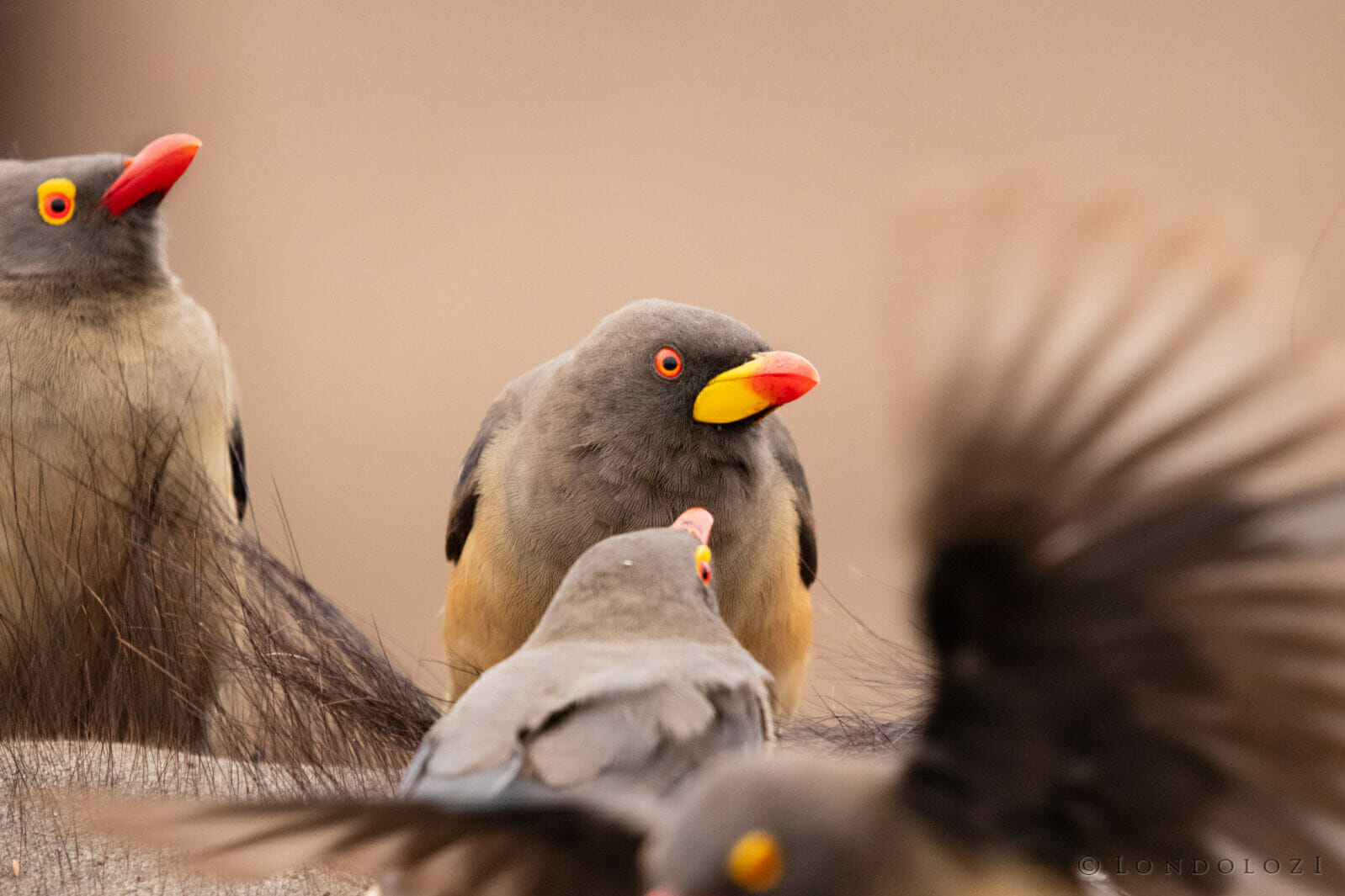 CT Yellow Billed Oxpecker