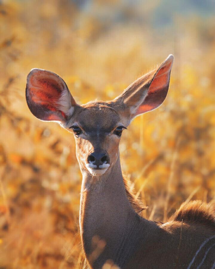 Young Kudu Mr
