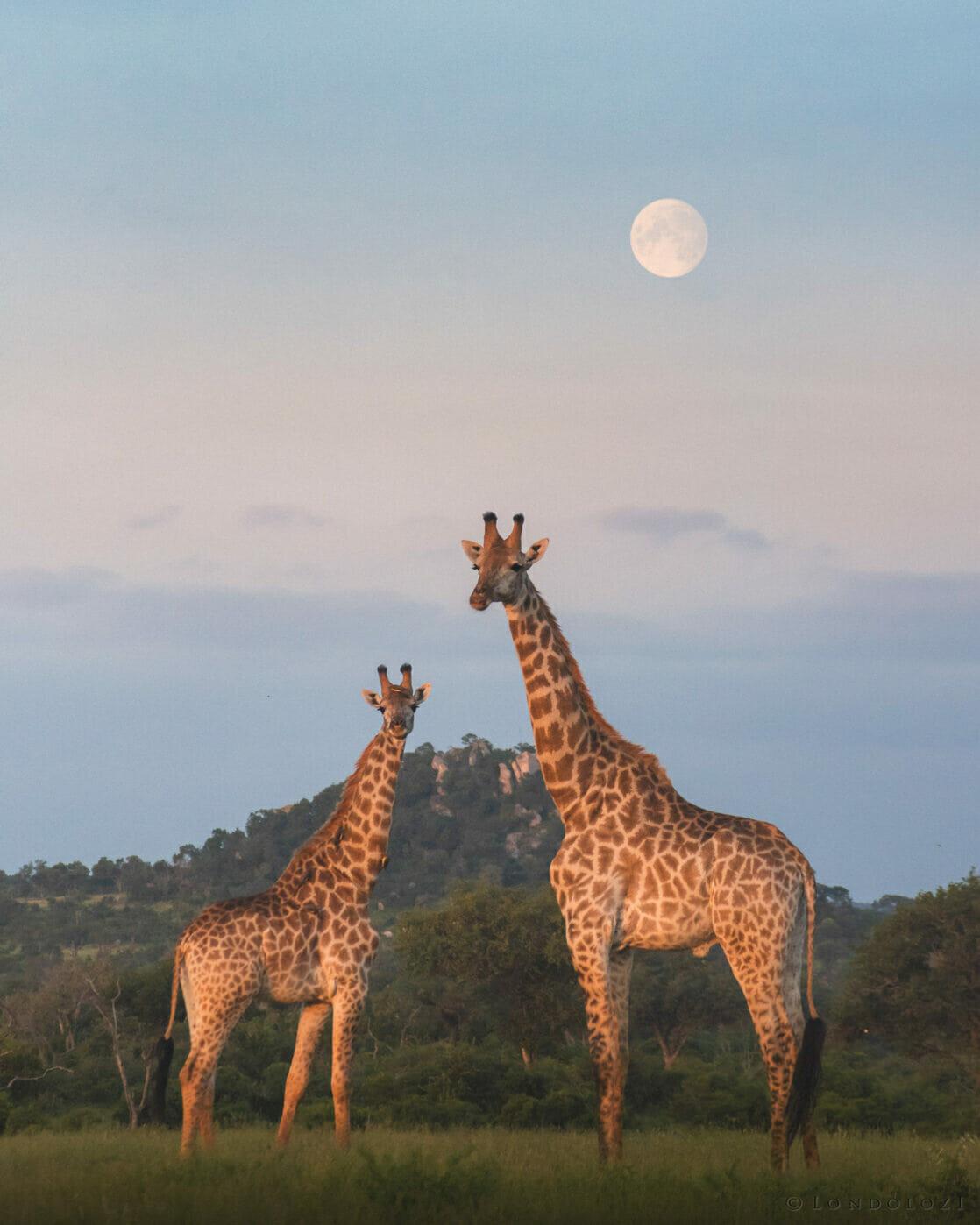 Giraffe Moon Mr