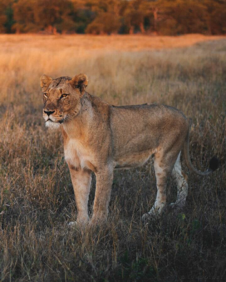 Lioness Mr