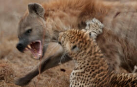 Xinzele Female Leopard And Hyena Fight