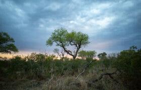 Sdz Ximungwe Female Leopard In Tree Feeding Wide Angle